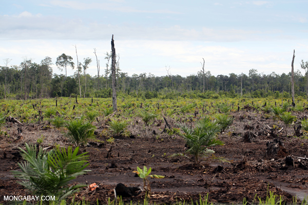 New oil palm plantation cleared from peat forest in Indonesia's Central Kalimantan Province in 2013