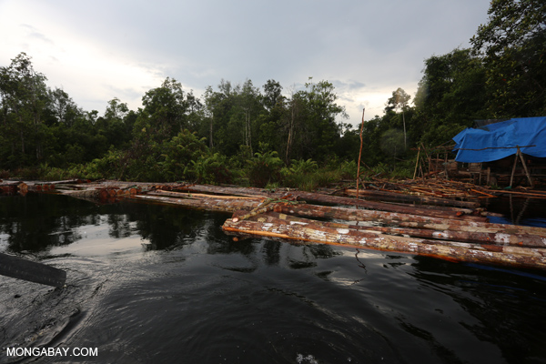 Log rafts made of illegally harvested timber awaiting processing in a peat swamp in Indonesia. Photo by Rhett A. Butler