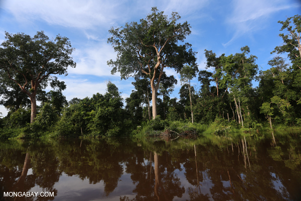 Carbon-dense peat forest in Kalimantan, Indonesian Borneo