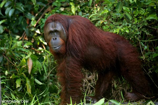 Orangutan in Central Kalimantan.
