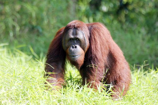 Orphaned Orangutan in Central Kalimantan.