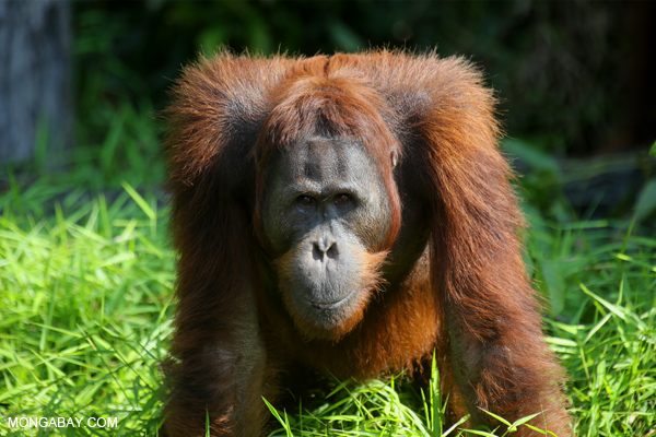 If Indonesia Can't Protect Its Orangutans, Why Doesn't It