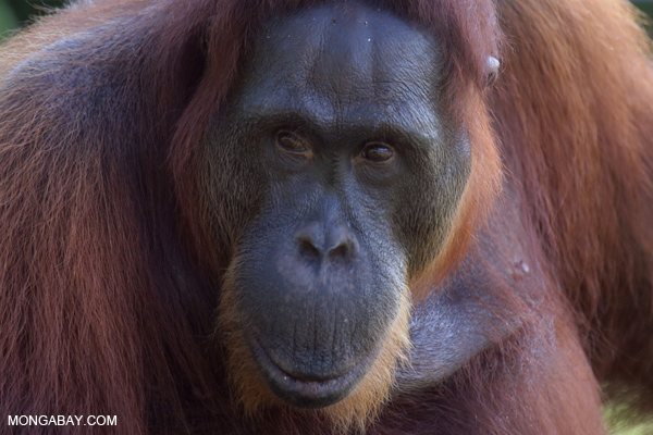 An orangutan in the forest of Central Kalimantan