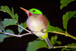 A broad-billed Tody (Todus subulatus) near Pedernales, Dominican Republic.
