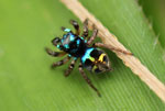 A radiant blue and yellow spider in the Ebano Verde Scientific Reserve in the Dominican Republic.