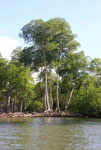 Impressive giant mangroves in Los Haitises National Park in the Dominican Republic.