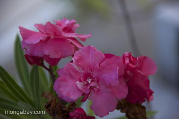 Domestic flower in Santo Domingo, Dominican Republic.