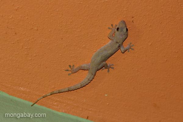A gecko in Pedernales, Dominican Republic.