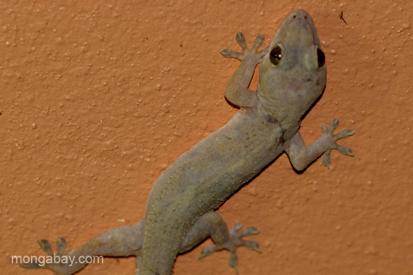 A gecko in Pedernales, Dominican Republic.