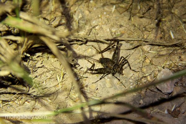 A cricket near Pedernales, Dominican Republic.