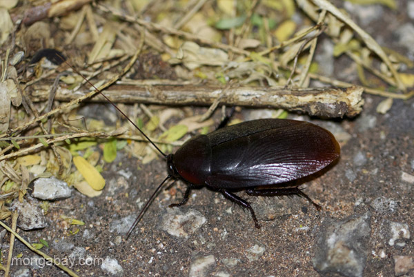 A cockroach near Pedernales, Dominican Republic.