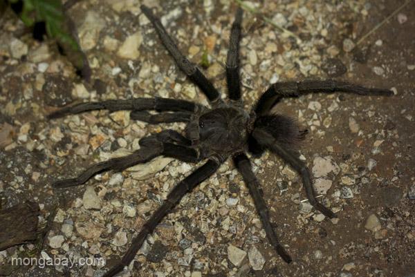 A tarantula on a road near Pedernales, Dominican Republic.