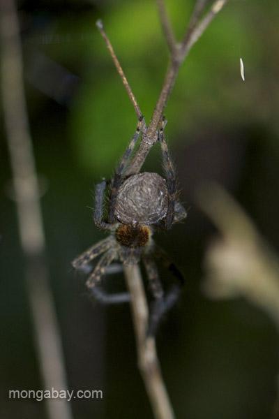 A spider near Pedernales, Dominican Republic.