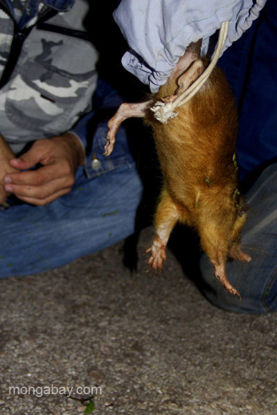 Researchers release a Hispaniolan solenodon (Solenodon paradoxus) from a cloth sack.  This keeps the animal safe and calm before the radial collar fitting needed for their research.