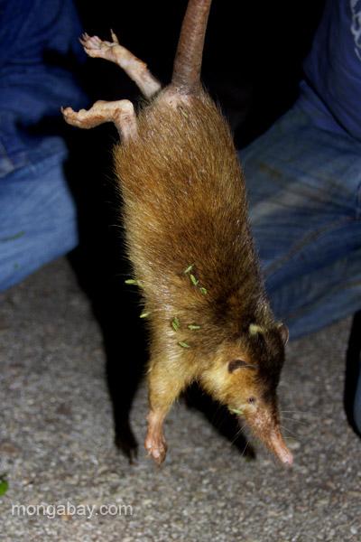 Le solénodon fait environ la taille d'un rat. Photo de Tiffany Roufs.