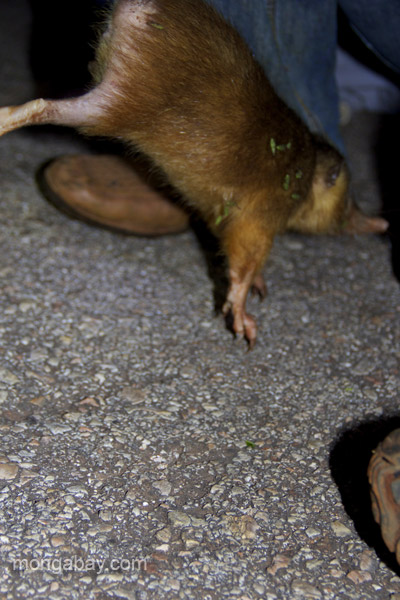 Researchers handle a Hispaniolan solenodon (Solenodon paradoxus) by its thick tail.  Handling the creature by the is seems to be the safest and gentlest method for both the solenodon and the researchers.