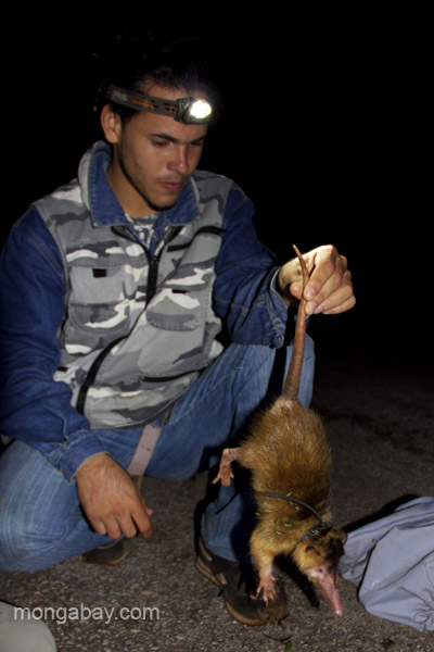Yimell Corona,un assistant, tenant par la queue un solénodon : c'est en fait la position la moins stressante pour l'animal selon les spécialistes. Photo de Tiffany Roufs.
