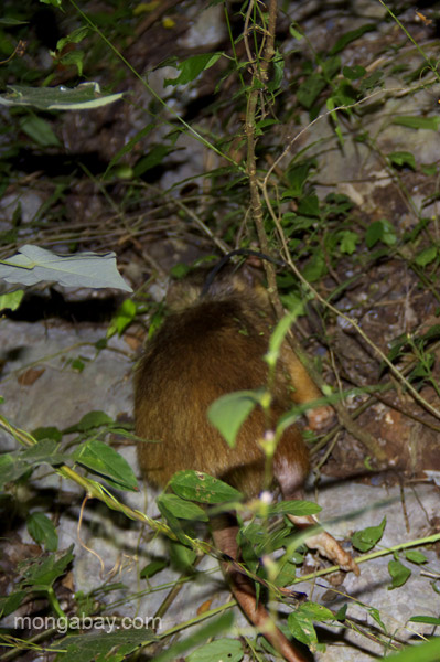A Hispaniolan solenodon (Solenodon paradoxus) with a radial collar is released back into the forest near Pedernales, Dominican Republic.