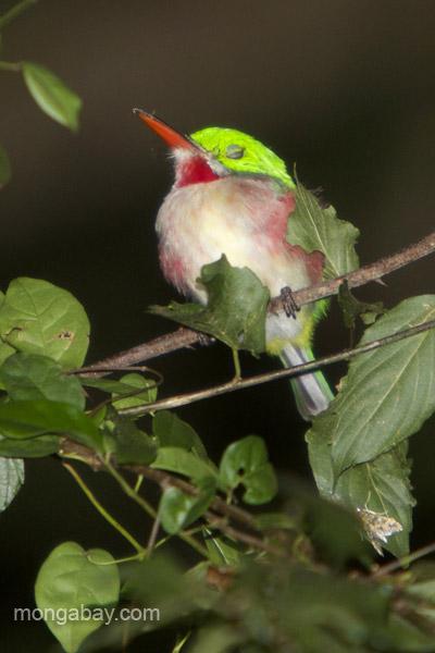 A broad-billed Tody (Todus subulatus) near Pedernales, Dominican Republic.