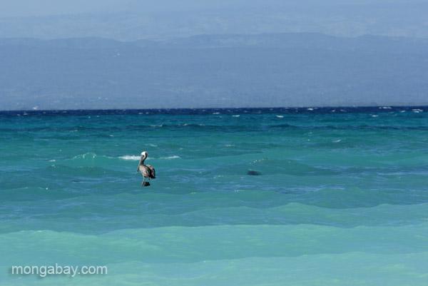 A pelican at Cabo Rojo in the Dominican Republic.