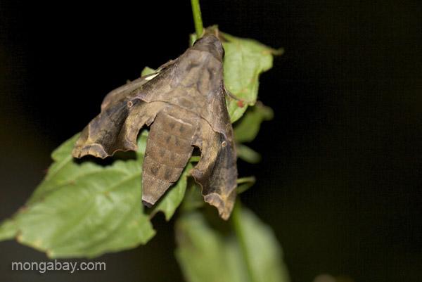 A hawk moth near Pedernales, Dominican Republic.