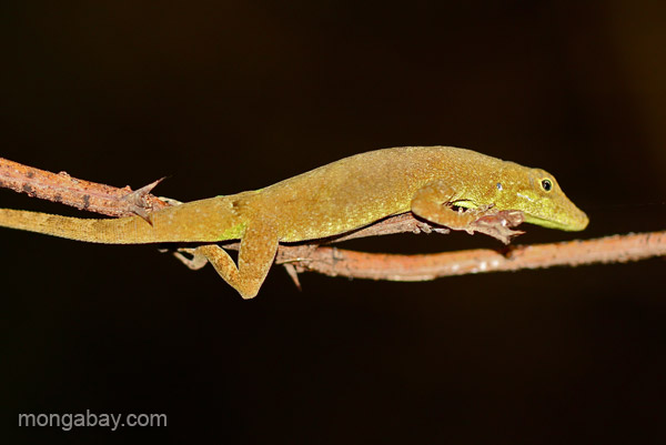 A lizard near Pedernales, Dominican Republic.