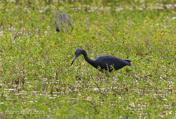 Little Blue Heron (Egretta caerulea) at the Oviedo Lagoon in the Dominican Republic.