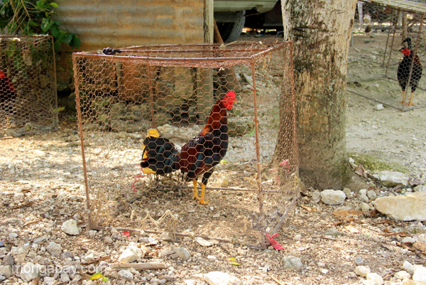 Roosters kept for cock fighting in the village of Mencia in the Pedernales Province of the Dominican Republic.