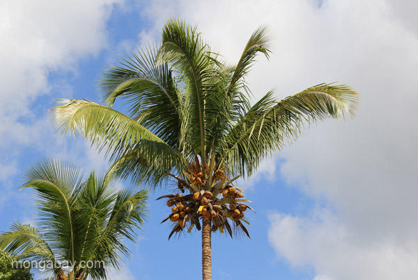 A palm tree in the village of Mencia in the Pedernales Province of the Dominican Republic.