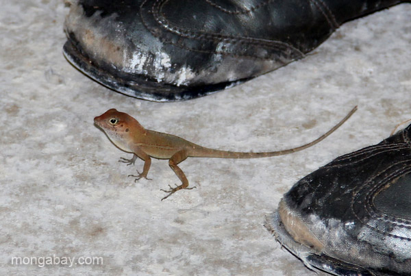 A lizard in the village of Mencia, Dominican Republic.