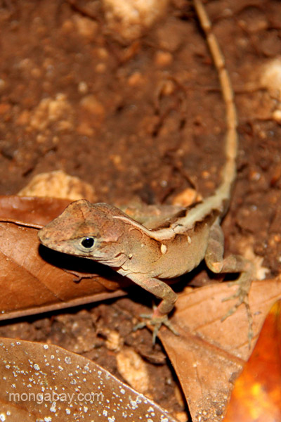 A lizard in the forests near the village of Mencia, Dominican Republic.