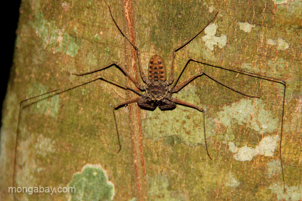 A harvestman on a tree near the village of Mencia, Dominican Republic.