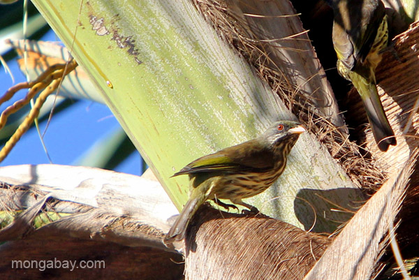 Palmchat (Dulus dominicus) on a palm in the village of Mencia, Dominican Republic.