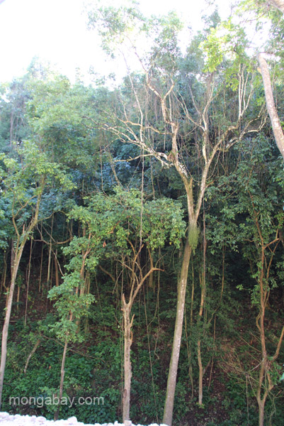 Large trees along the river near the village of Mencia, Dominican Republic.