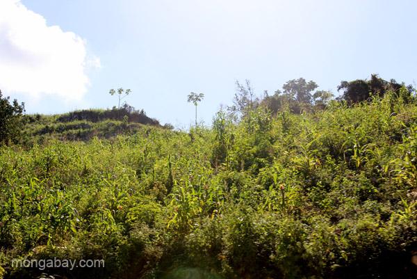 Coffee plants grow on smaller farms near the village of Mencia, Dominican Republic.