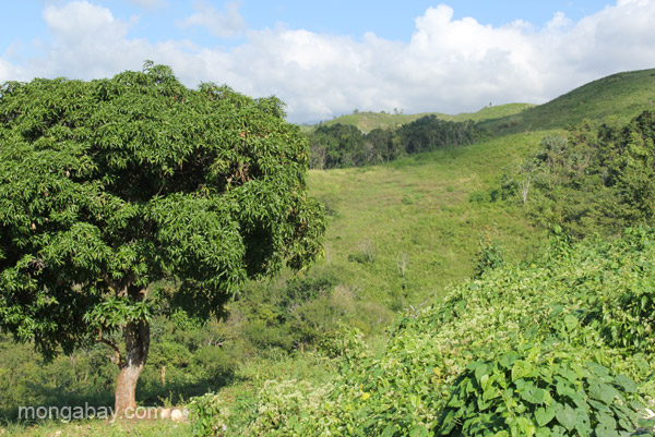 A mango tree in the mountains near the village of Mencia, Dominican Republic.