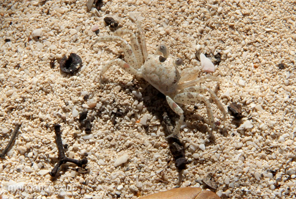 A sand crab at Bahia de las Aguilas at Jaragua National Park in the Dominican Republic.