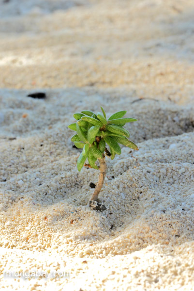 A tiny plant that resembles a palm tree at Bahia de las Aguilas at Jaragua National Park in the Dominican Republic.