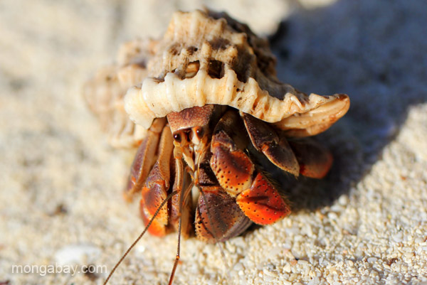 A hermit crab at Bahia de las Aguilas at Jaragua National Park in the Dominican Republic.