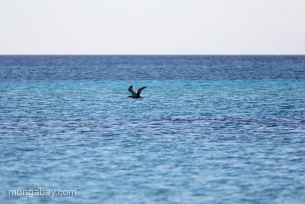 A seabird at Bahia de las Aguilas at Jaragua National Park in the Dominican Republic.