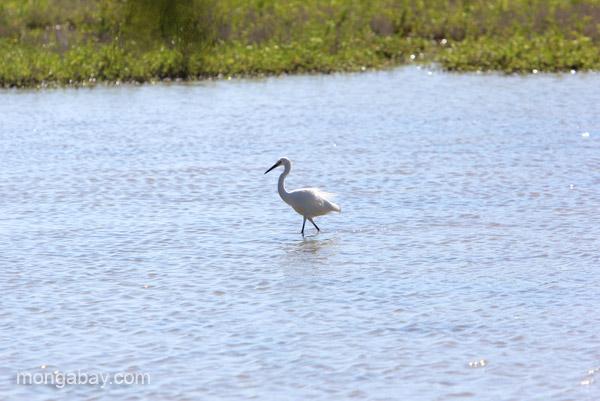 Shorebird at the Oviedo Lagoon in the Dominican Republic.