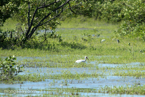 Ibis at the Oviedo Lagoon in the Dominican Republic.