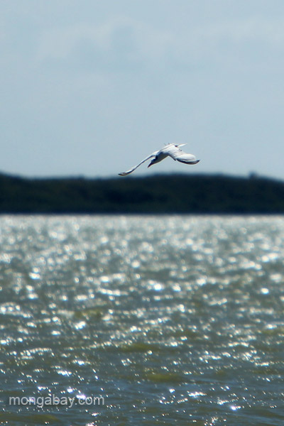 A tern in flight at Oviedo Lagoon in the Dominican Republic.