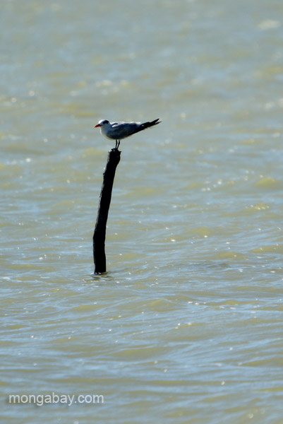 A tern at Oviedo Lagoon in the Dominican Republic.