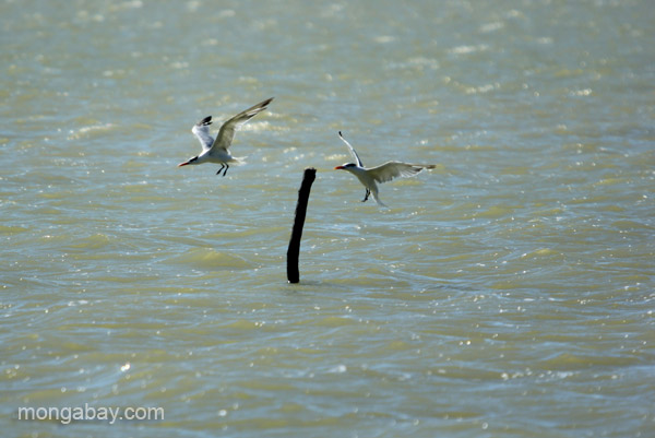 Terns at Oviedo Lagoon in the Dominican Republic.