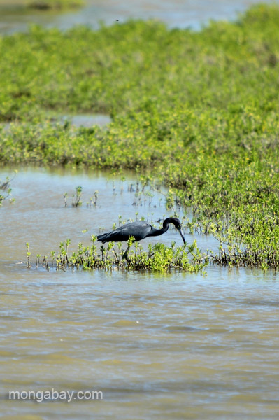 A little blue heron at Oviedo Lagoon in the Dominican Republic.