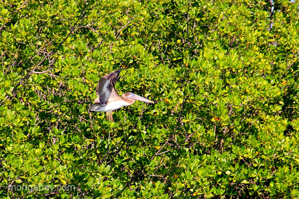 A pelican in the mangroves near Cayo Arena in the Dominican Republic.