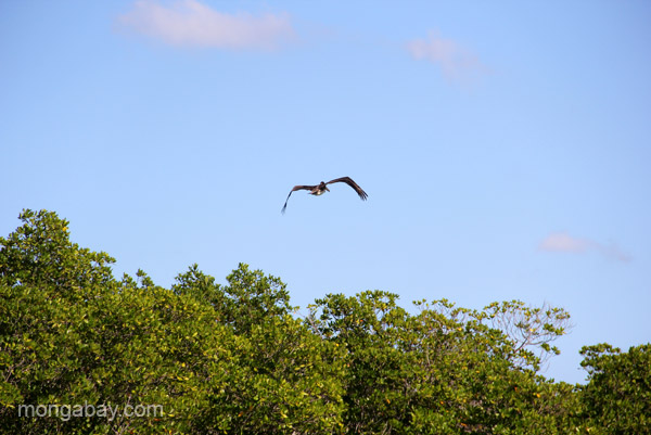 A pelican in flight above the mangroves near Cayo Arena in the Dominican Republic.