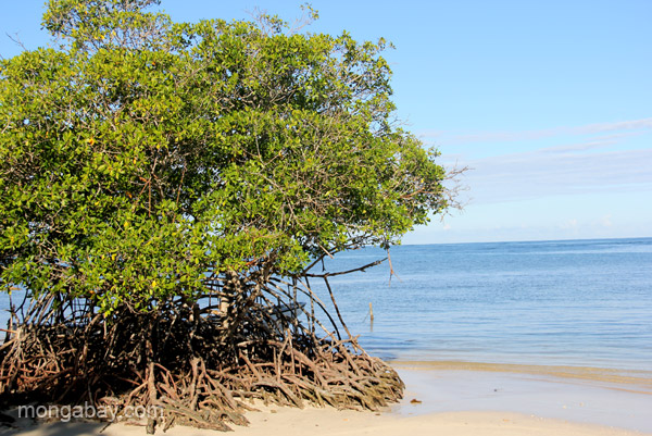 A mangrove before the sea in the Dominican Republic. Photo by Tiffany Roufs / mongabay.com