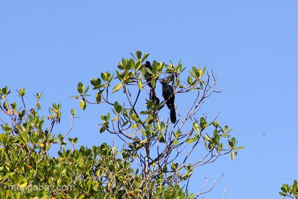 A bird in a mangrove tree in Estero Hondo Marine Sanctuary in the Dominican Republic.